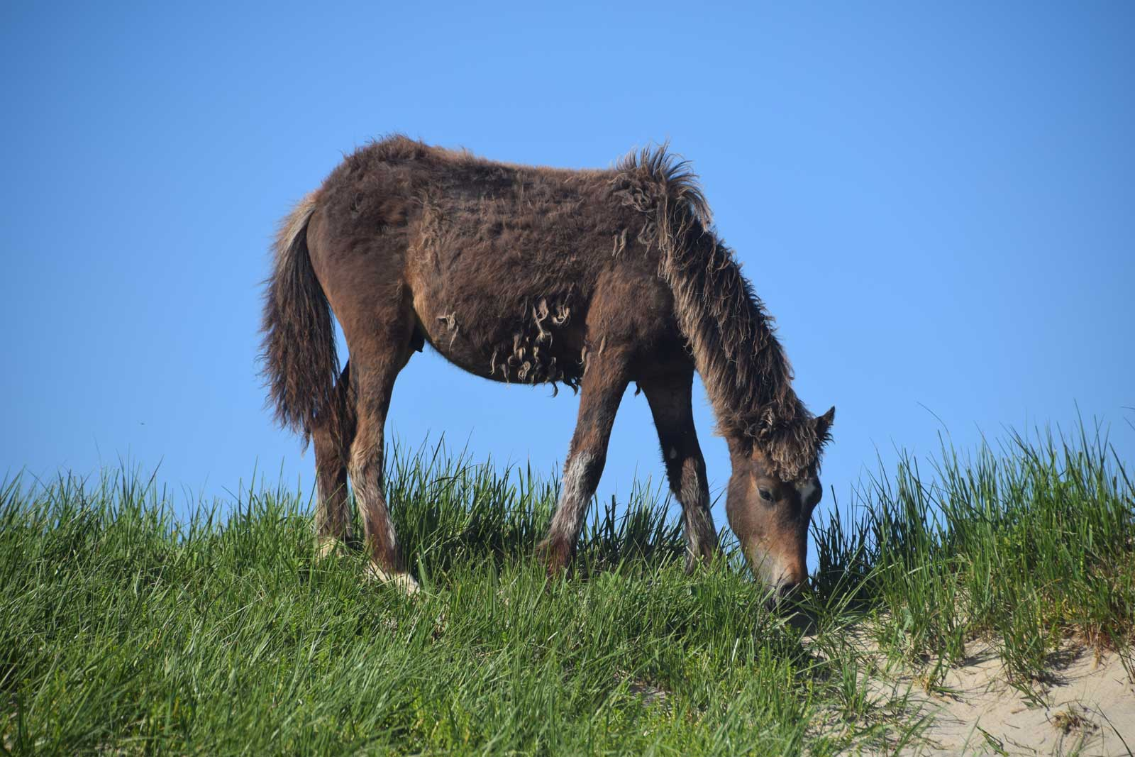 Foal eating marram grass