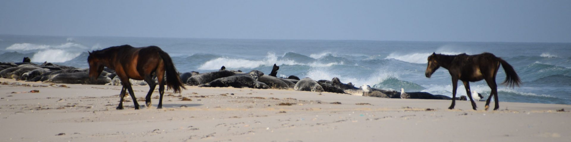 Horses and grey seals on Sable Island