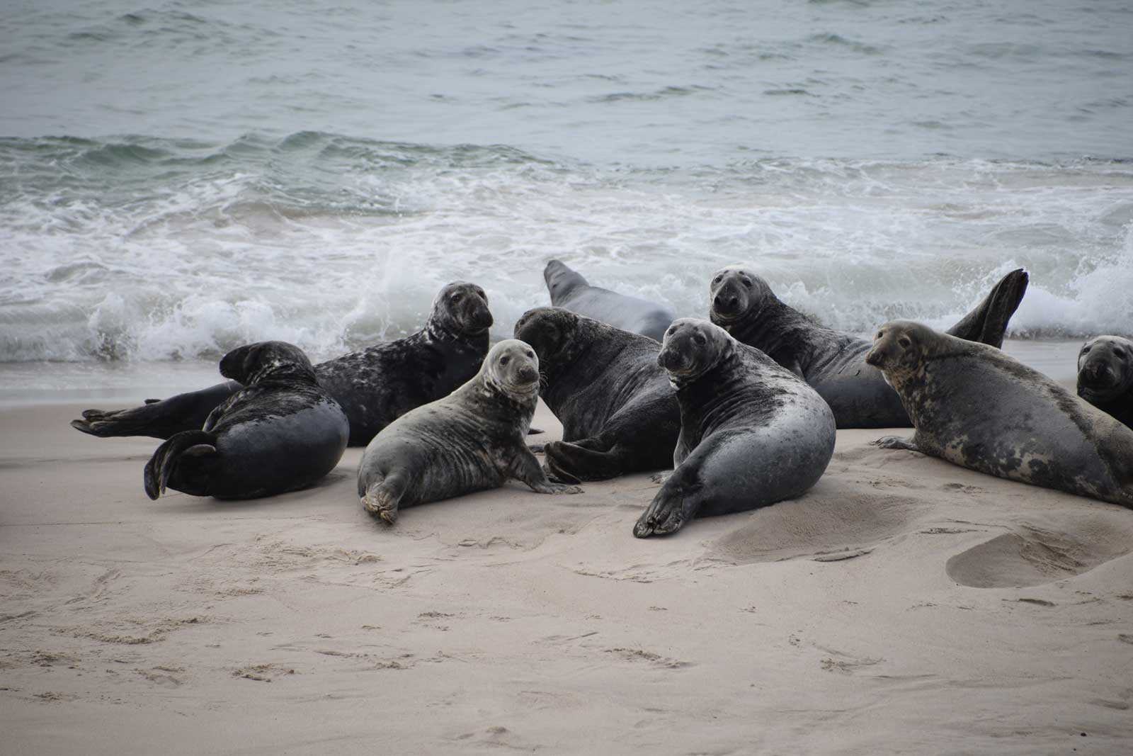 grey seals on Sable Island