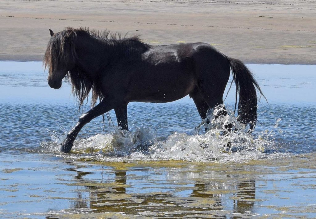 Stallion in pond on Sable Island