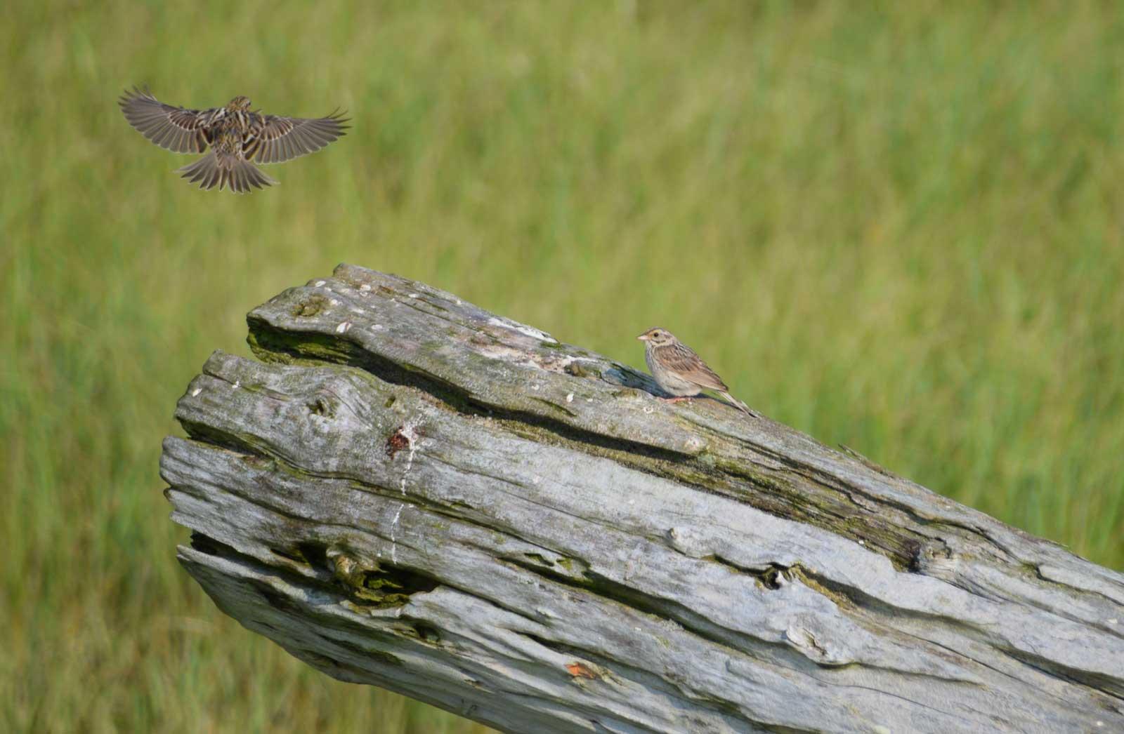 Ipswich Sparrows